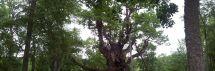 Stelmužės ąžuolas - pretendentas Metų medžiui 2016