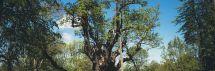 Puoselėjamas Stelmužės ąžuolas